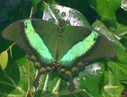 Katia Thompson, The Emerald Swallowtail