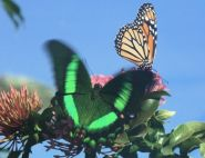 Hank Sims - Monarch & Emerald Swallowtail