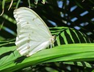 The White Morpho by Niels and Hedy