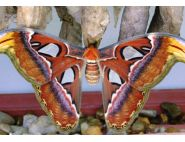 The Atlas Moth by Mark Nelson