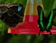 The Blue Morpho and Emerald Swallowtail by Harry Poppick