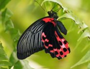 The Scarlet Swallowtail by Julie Wylie