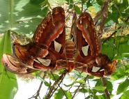 Mating Atlas Moths by Tangi Spencer