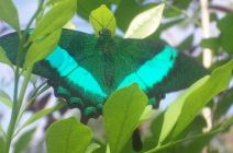 Courtney Maloney, The Emerald Swallowtail