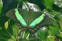 Katia Thompson, The Emerald Swallowtail