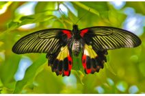 Jim Radford - Scarlet Swallowtail