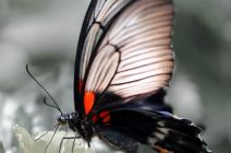 The Lowes Swallowtail by Janice Mezzacappa