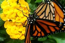 Monarchs raised by Sandra Trinidad in her Miami Garden. Well done! :)