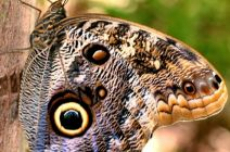 The Owl Butterfly