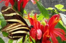 The Zebra Butterfly by Carol & Peter Simms