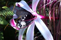 Swallowtail by Crystal Howard