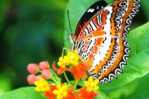 The Lacewing by Janet