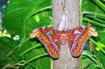 The Atlas Moth by Jude Anderson