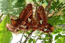 Mating Atlas Moths by Tangi Spencer