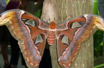 malle metsis, The Atlas Moth