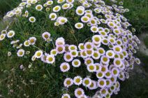 Plant clumps of flowers