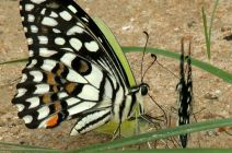 Lime Butterfly (papilio demoleus) mud-puddling
