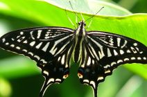 The Japanese Swallowtail