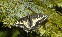 Anise Swallowtail (Papilio zelicaon)