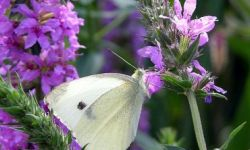 Cabbage White (Pieris rape)