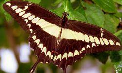 Giant Swallowtail (Papililo cesphontes)