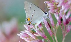 Grey Hairstreak   (Strymon melin)