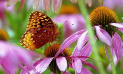 Great Spangled Fritillary (Speyeria cybele)