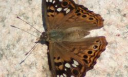 Hackberry Butterfly (Asterocampa celtis)