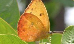 Orange-barred Sulphur (Pheobis philea)