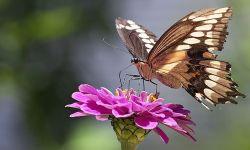 Polydamus Swallowtail (Battus polydamus)