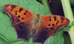Question Mark (Polygonia interrogations)