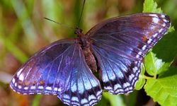 Red-spotted Purple (Limentis astyanax)
