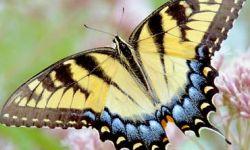 Western Tiger Swallowtail (Papilio rutulus)