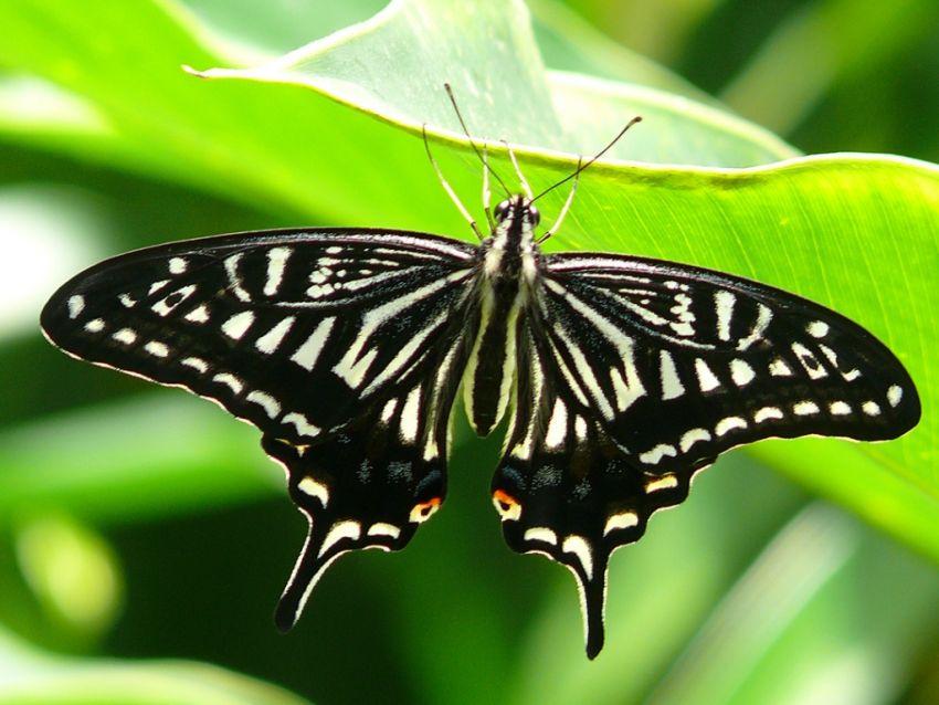 The Japanese Swallowta...