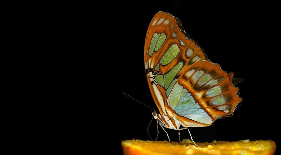 Black Background Butterfly